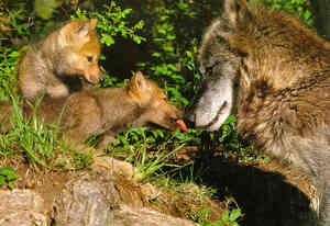 GrayWolf_15-WolvesFamily-Mom_n_2puppies