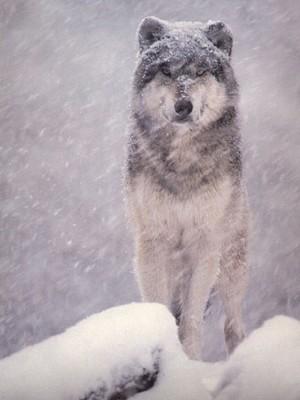 Le regard planté  dans off loup_neige