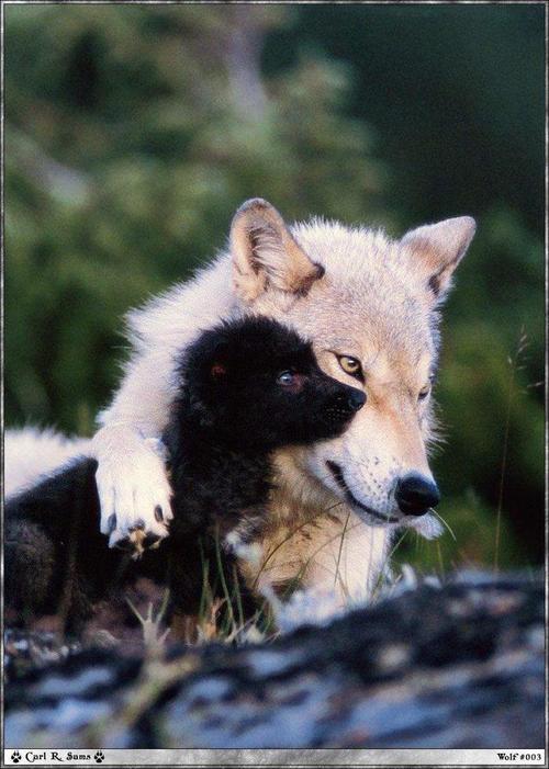 Loups_photos_051_1
